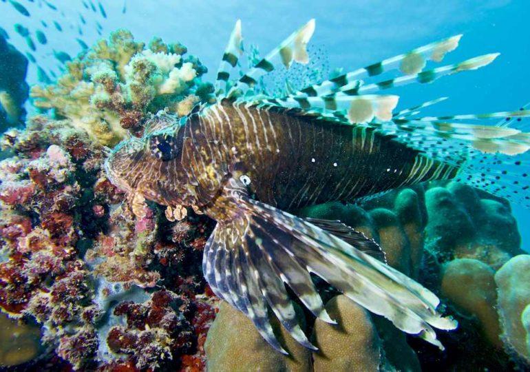 Rascasse ou poisson lion: voilà pourquoi il faut s'en méfier !
