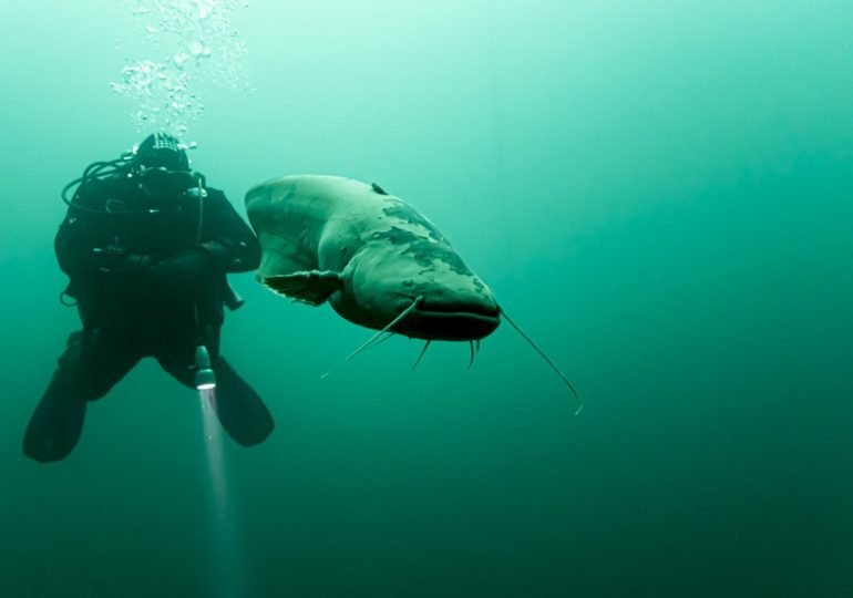 Diving: an impressive encounter with catfish